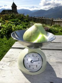 Ein Rekord am Lechtlhof: unsere Gartenzwiebel brachte es im Herbst 2015 auf ein Gewicht von 1,2 kg